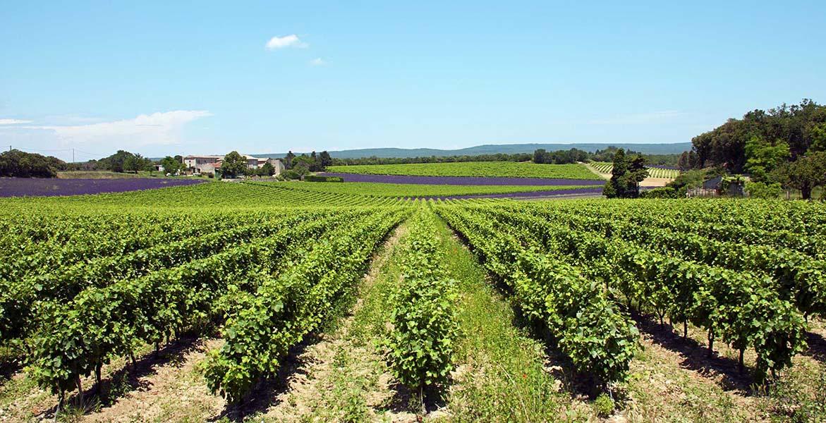 Vignobles Biterrois avec champs de lavande