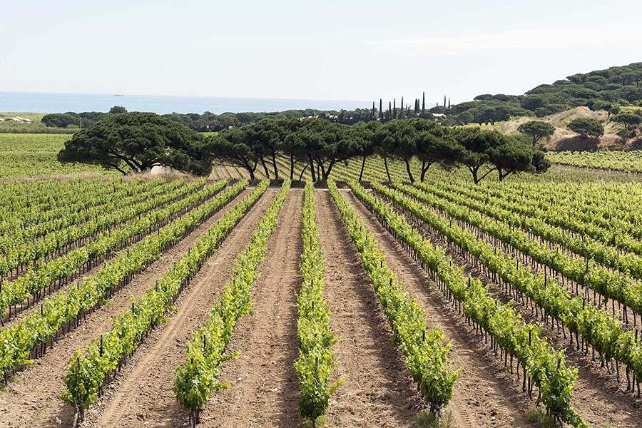Vignobles Biterrois avec cyprès sur fond de mer